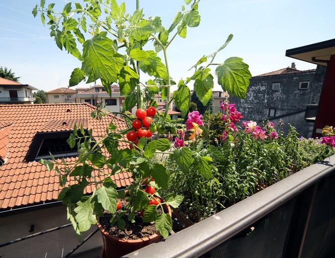 含有抗氧化物番茄紅素,加熱烹煮後會釋出更多茄紅素,是家庭常見食材。