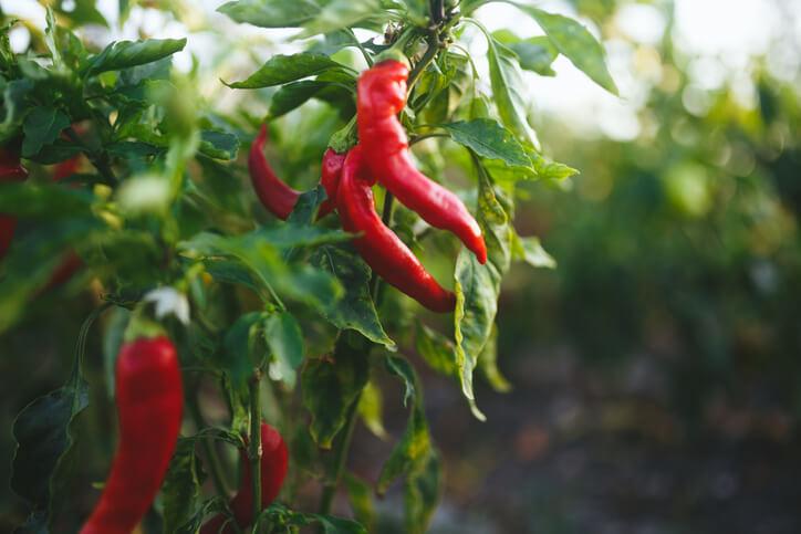 種朝天椒時,一次不要育苗太多,一盆兩棵即可,中間要保有空隙,可施磷鉀肥,種得好的話,能在夏末初秋時結果。