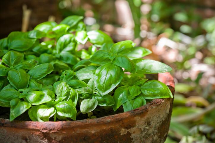 可用於烹調,也是義大利麵中青醬常見的食材之一。羅勒最佳育苗期為3月至8月,對冷非常敏感,在熱和乾燥的環境會生長得比較好,羅勒強烈的丁香氣味來自丁香油酚,迷人的氣味使羅勒廣泛應用於飲品、料理中。